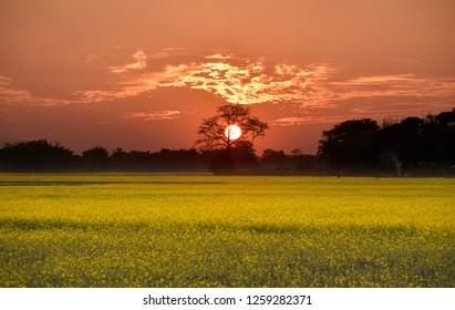 Sunset over mustard field