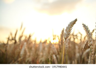 Sunset over natural field landscape in summer with light blue sky. Beautiful wheat stalks, growing in countryside. Agricultural rural background. Ecological food production.