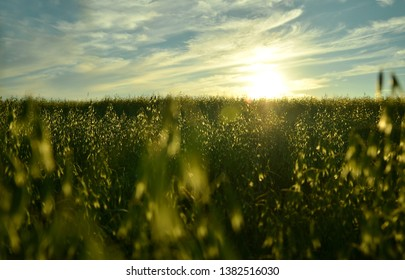 Sunset over oat field at summer. Beautiful grown corn oat in summertime field at sunset. A field of oats at sunset.