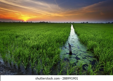 Sunset over paddy field. The area served as major rice production area to cater for domestic consumption.