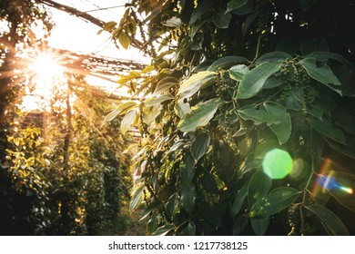 Sunset over a pepper farm with sunflare