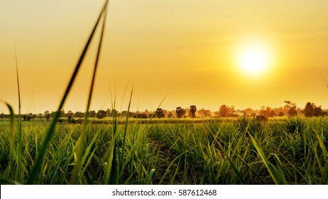 Sunset over sugar cane field