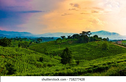 Sunset over the tea growing hills near Bwindi and Queen Elizabeth National Park, Uganda, Central Africa