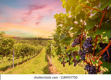 Sunset over vineyards with red wine grapes in late summer