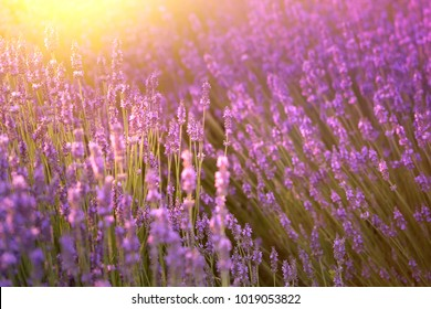 Sunset over a violet lavender field in Provence, France.