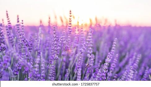 Sunset over a violet lavender field .Valensole lavender fields, Provence, France.