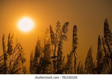 Sunset over a wheat field, Stalk of wheat grass photo silhouette at sunset and sunrise in winter, Nature sunset background.