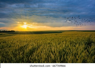 Sunset over wheat fields and flock of birds flying