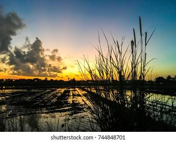 Sunset in paddy field Kedah,Malaysia