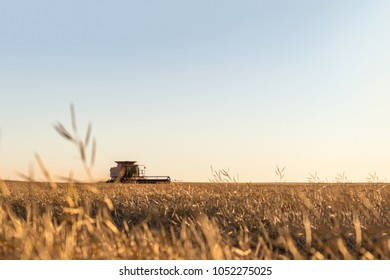 Sunset photo of a combine working in a canola field.