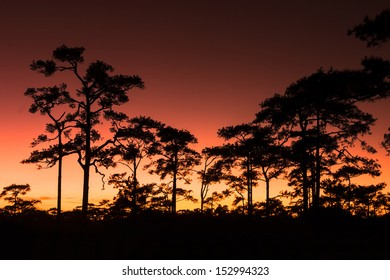 Sunset and Pine Trees at Phuktadung NationalPark, Thailand.