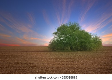 Sunset in Plowed field with Single Desert Mesquite Tree