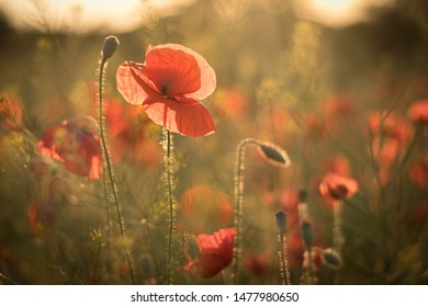 Sunset in the poppy field. Amazing soft light creating very romantic scene with fully blossoming red poppy flower.