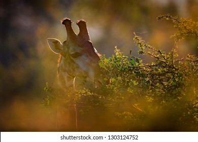 Sunset, portrait giraffe. Giraffe hidden in orange and green autumn vegetation. Animal head in the forest, Kruger National Park, wildlife Africa.