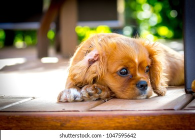 Sunset portrait of a King Charles Cavalier puppy.  This is a very loving and wonderful family pet. They love to play and cuddle and make you very happy.