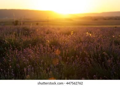 Sunset at purple lavender field in Crimea