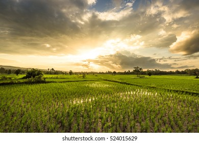 sunset at rice field
