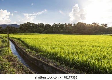 Sunset at rice field in Northern Thailand