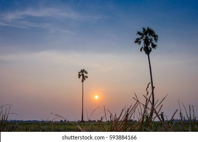 sunset at rice field with palm tree.