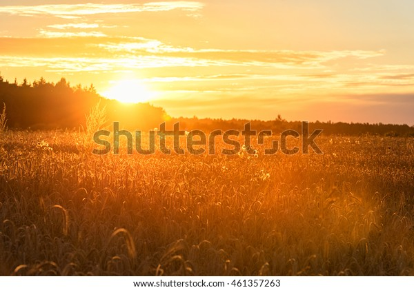Sunset in Rural Area over the Wheat Field. Late Evening photo Shoot with Shallow Depth Of field.
