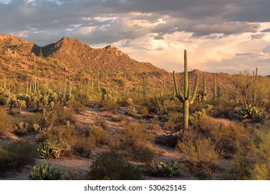 Sunset at Saguaro National Park, Tucson Arizona.