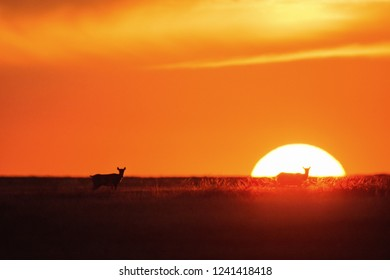 Sunset Saiga tatarica is listed in the Red Book, Chyornye Zemli (Black Lands) Nature Reserve, Kalmykia region, Russia.