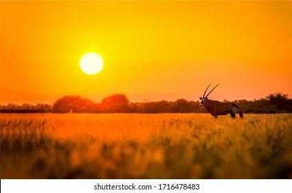 Sunset savannah antelope silhouete view