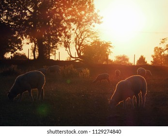 Sunset Sheep in Staffordshire