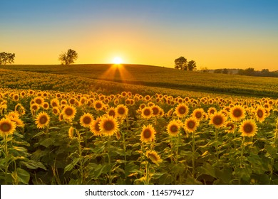 Sunset shining on a sunflower field in the Midwest of the United Stated.