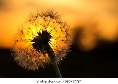 Sunset with Silhouette of Dandelion