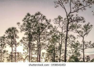 Sunset silhouette through slash pine trees in the Everglades.