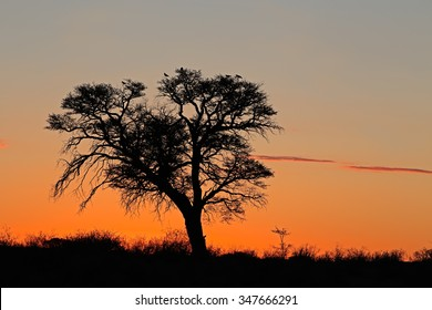 Sunset with silhouetted African Acacia tree, Kalahari desert, South Africa