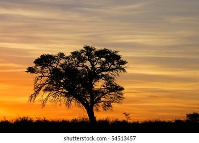 Sunset with silhouetted African Acacia tree, Kalahari desert, South Africa