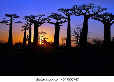 Sunset silhouetting the baobab trees on the Avenue of the Baobabs near Morondova, Madagascar