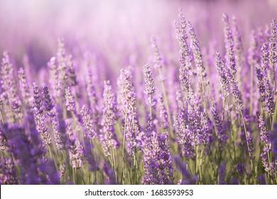 Sunset sky over lavender bushes. Close-up of flower field background. Design template for lifestyle illustration.