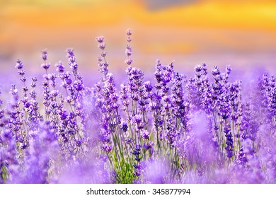 Sunset sky over a summer lavender field.