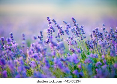 Sunset sky over a summer lavender field.