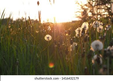 Sunset summer meadow with dandelion and midsummer grass