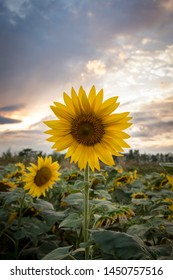 Sunset with sunflower in Robecco sul Naviglio, Italy
