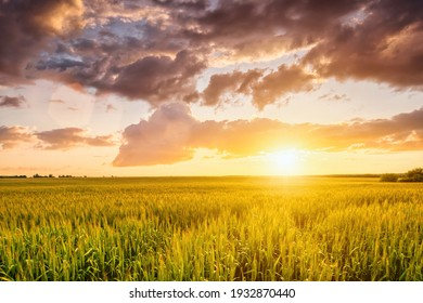 Sunset or sunrise on a rye field with golden ears and a dramatic cloudy sky.
