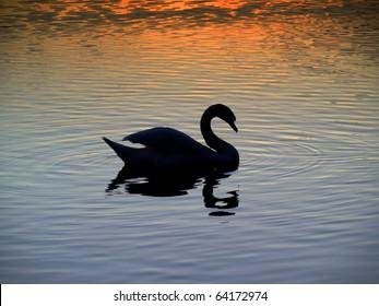 Sunset - swan  on the lake
