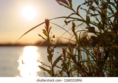 sunset through the grass, Sunny dawn on the shore of the lake