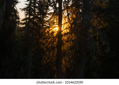 Sunset through a pine forest drooping with lichen.