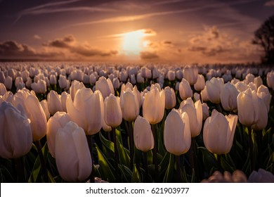 sunset at the Tulip field Noordoostpolder on a beautiful spring day Netherlands Holland, colorful white tulips during sunset