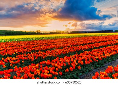Sunset in the tulips field