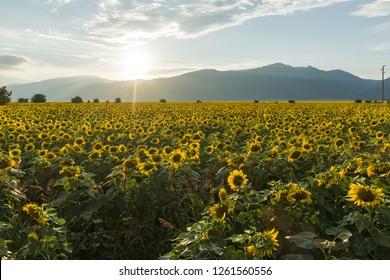 Sunset view of sunflower field at Kazanlak Valley, Stara Zagora Region, Bulgaria