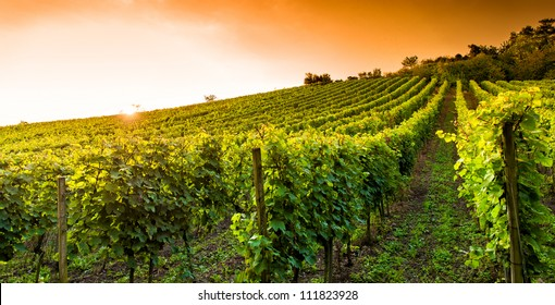 Sunset in a vineyard in Hessen Germany