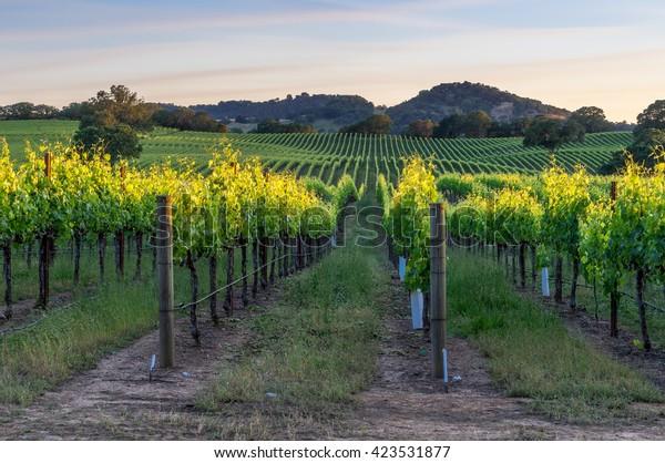 Coucher de soleil dans les vignobles de Healdsburg, Californie