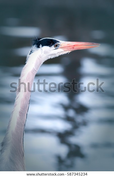 Sunset wading bird. Grey heron watches the waters edge. Aesthetic pastel toned image.