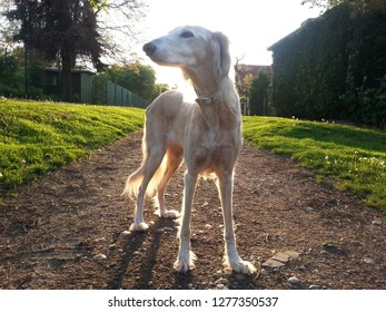 A sunset walk with  a white saluki dog in the city park during summer. Houses and gardens in Prague, family time with pets.